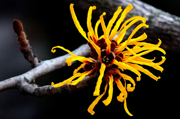 In Praise of Witch Hazel