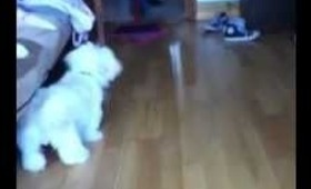 Funny dog barks at broom!