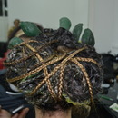Rhapsody of the Gods production: MEDUSA'S UPDO