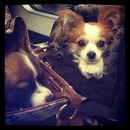 Cute dogs in fashion bags.