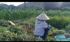 Hướng dẫn thu hoạch lạc tươi
