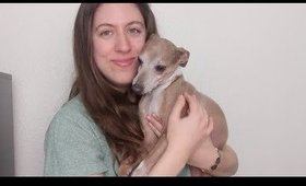 Italian Greyhounds - Potty Training, Broken Legs and Answering Your Questions