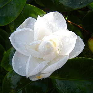 Coco Chanel's Favorite Flower, Camellia