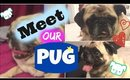 Meet Our Pug I My First Vlog