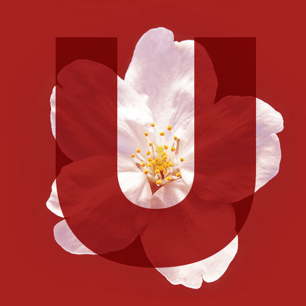 Letter U from the name Sakura with a cherry blossom
