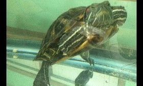 Lucy the Red Ear Slider - Dinner time!