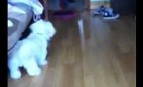 Funny dog barks at broom!