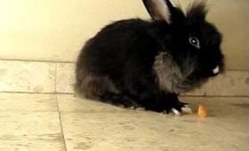 Iasonas (Jason) my lionhead bunny