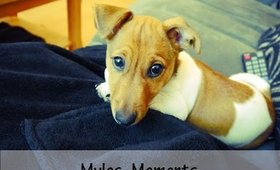 Mylos Moments - Jack Russell Terrier Puppy
