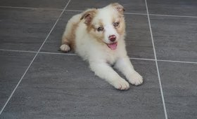 Meet Our New Puppy: Mojo! * Australian Shepard Puppy*