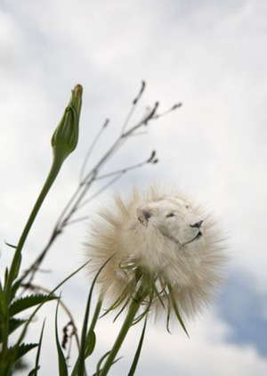 "I sat one day thinking, ""Dandelion, Dandy-Lion.""  And there you have it :)"