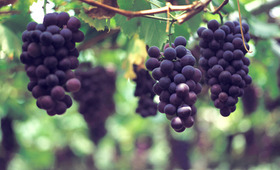 Going Grape: Nature's Most Powerful Beauty Ingredient
