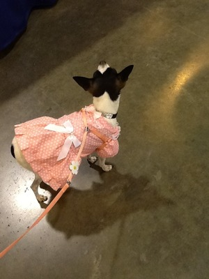 This is Buttons my dear chihuahua pet and this is her cute stylish outfit that I just bought for her. I thought  this pic was so worthy of Beautylish lol since she looks so fashionable and cute!!! :🐩💕😜😋 Hope you guys like it 😉