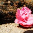 Pink rosey roses🌸🌹