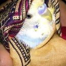 my pet Australian love bird