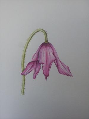 My pink poppy in watercolours
