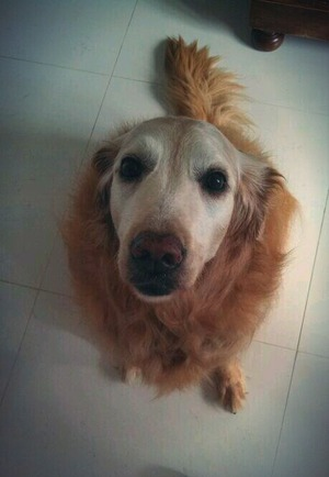 This cutie is my 11 years old golden retriever.. Love her soooo much!