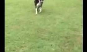 Smartest Pit Bull Ever