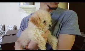 Joseph, The Maltipoo! | SUPER CUTE
