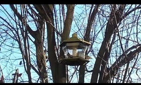 Gold finches squabble over feeder